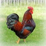 雞類 (49)